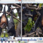 bats-male-and-female-fb-docman-napulan-june-2014
