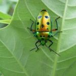sucgang-metallic shield bug