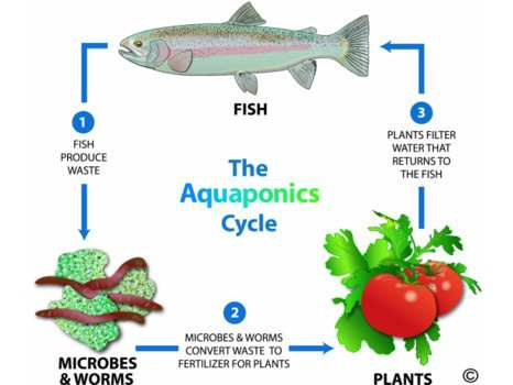 Aquaponics-cycle