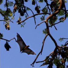 Island flying fox (Pteropus hypomelanus). Photo by Jason Matias