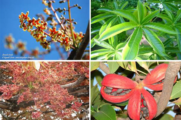 The bubog plant's flowers and fruits.