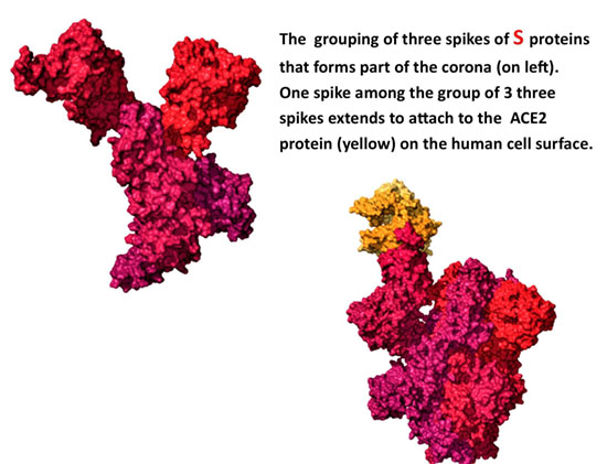 Figure 6. Computer graphics of the Spike proteins in SARS-Cov2. From The New York Times article cited above.