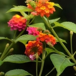 posecion-buterfly-on-lantana