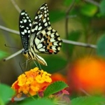 posecion-butterflies-of-sulu