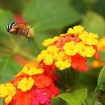 posecion-sulu-blue-banded-bee