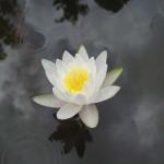 sucgang-water lily