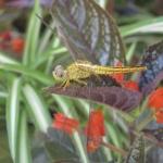 sucgang-Crocothemis servilia (female).